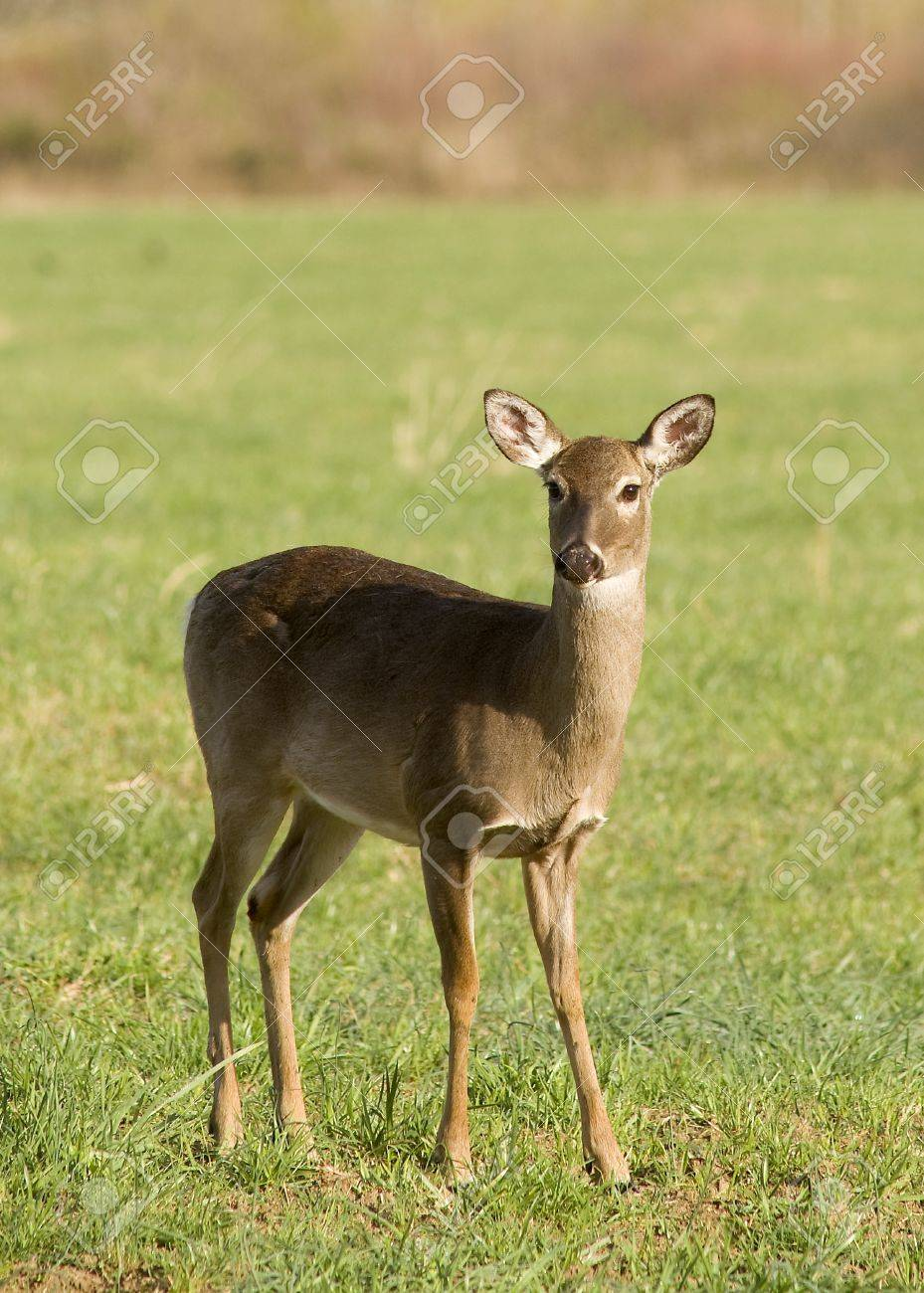 A White Tailed Deer (Odocoileus virginianus) in a field Stock Photo - 19254997
