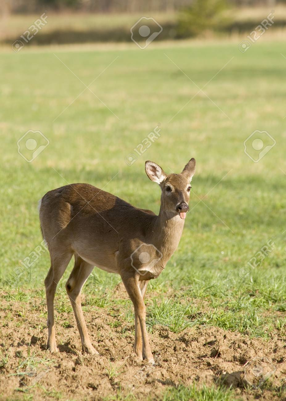 A White Tailed Deer (Odocoileus virginianus) in a field Stock Photo - 19254998