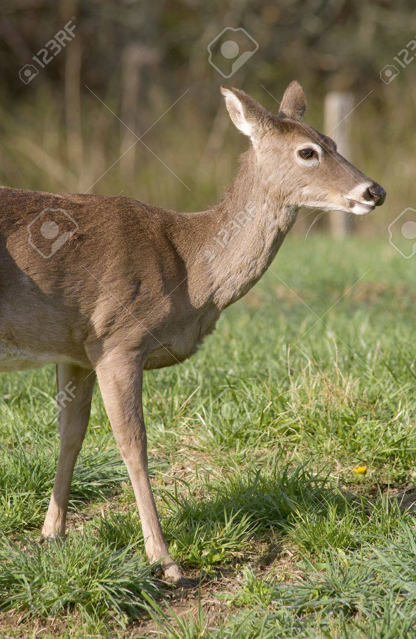 A White Tailed Deer (Odocoileus virginianus) in a field Stock Photo - 19255001