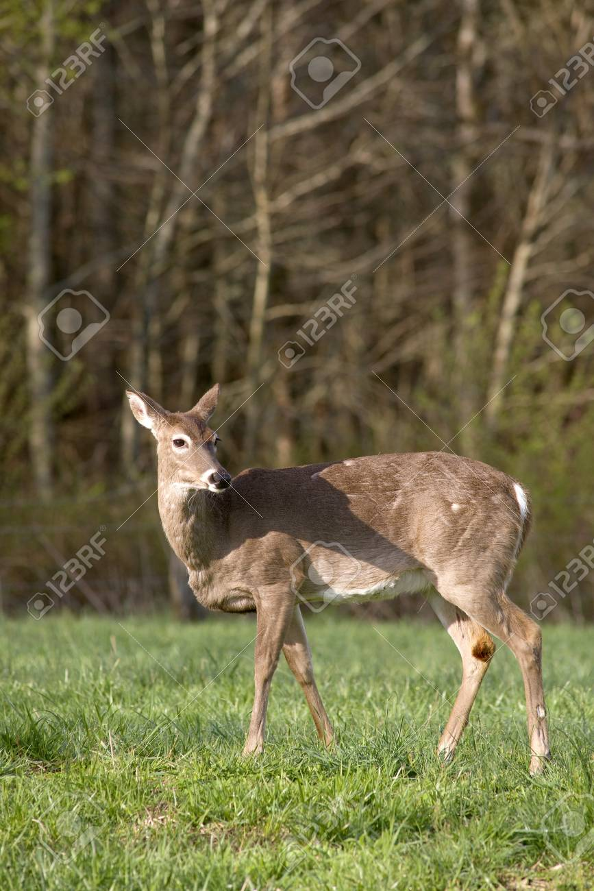 A White Tailed Deer (Odocoileus virginianus) in a field Stock Photo - 19255004