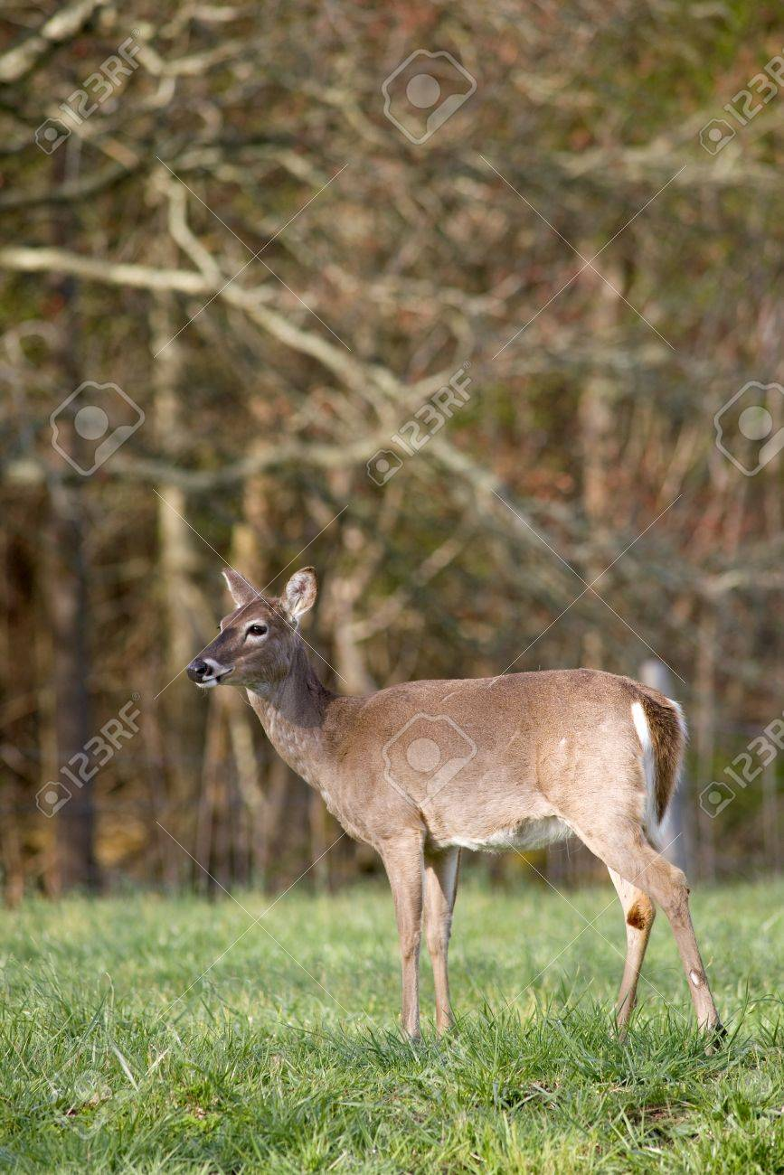 A White Tailed Deer (Odocoileus virginianus) in a field Stock Photo - 19255003
