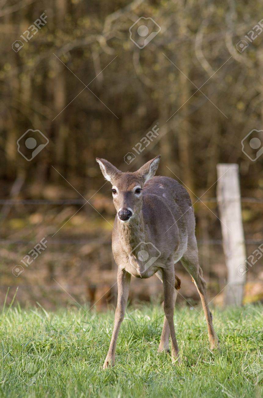 A White Tailed Deer (Odocoileus virginianus) in a field Stock Photo - 19254999
