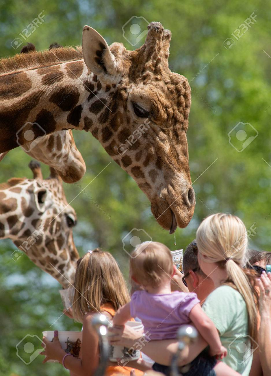 A crowd of people feeding a large male Giraffe Stock Photo - 27957046