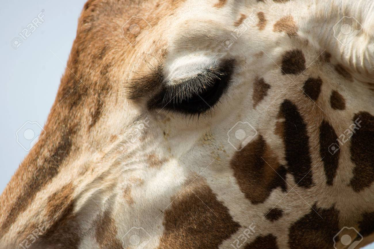 Extreme close-up of a Giraffes face showing huge eye lashes Stock Photo - 27958031