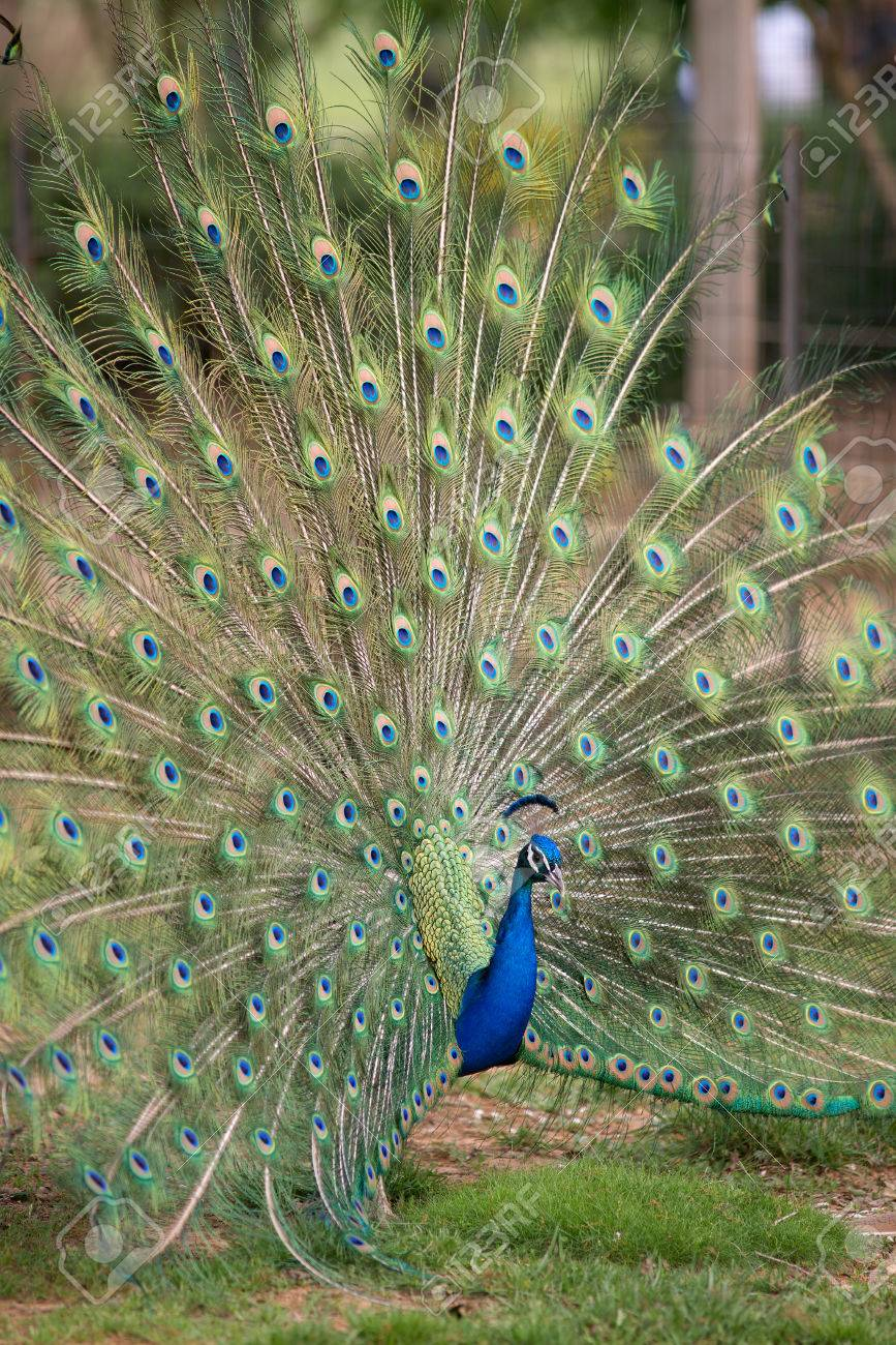 Peacock displaying full tail spred colors Stock Photo - 27958035