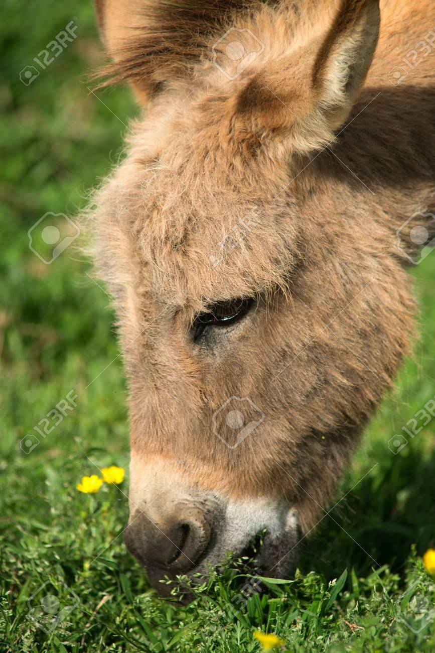 Close-up of a burro's head while grazing Stock Photo - 27958036