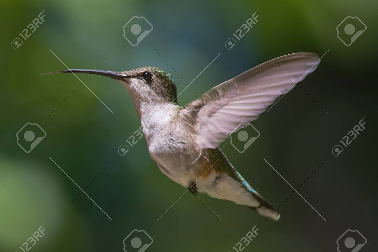 Ruby Throated Hummingbird hovering in flight Stock Photo - 40559782