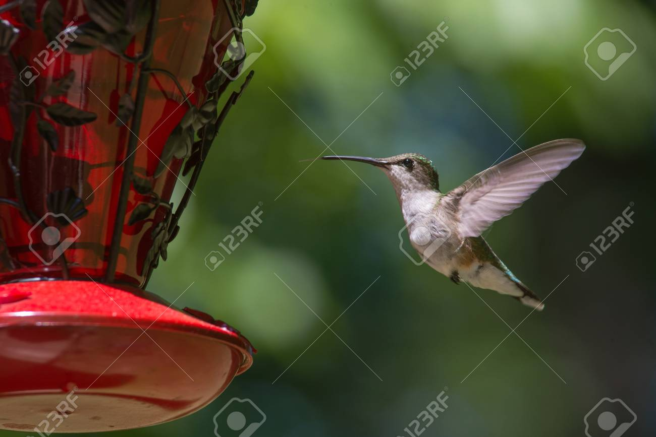 Ruby Throated Hummingbird hovering in flight Stock Photo - 40559794