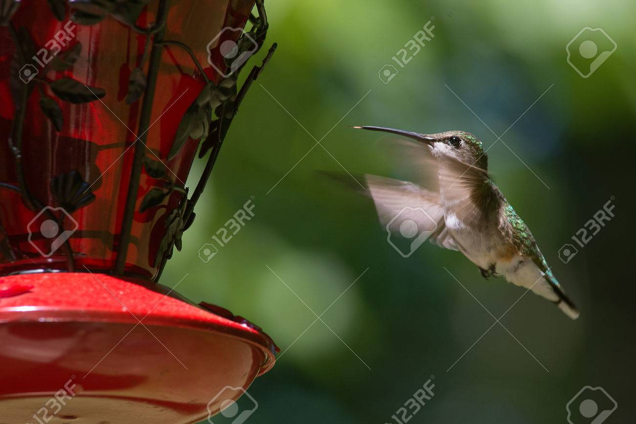 Ruby Throated Hummingbird hovering in flight Stock Photo - 40559795