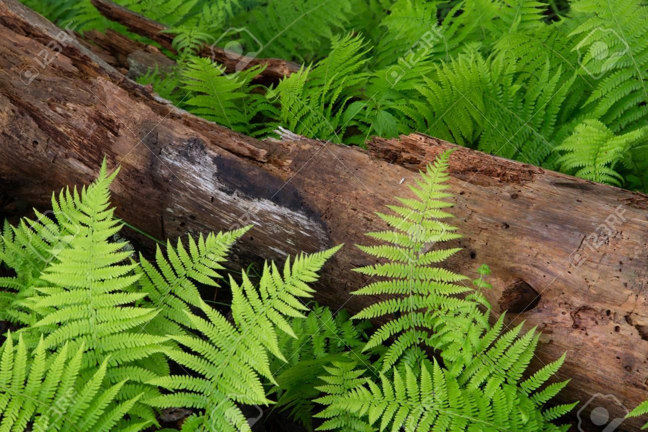 Cinnamon Ferns and Log with fresh rain drops Stock Photo - 40559798