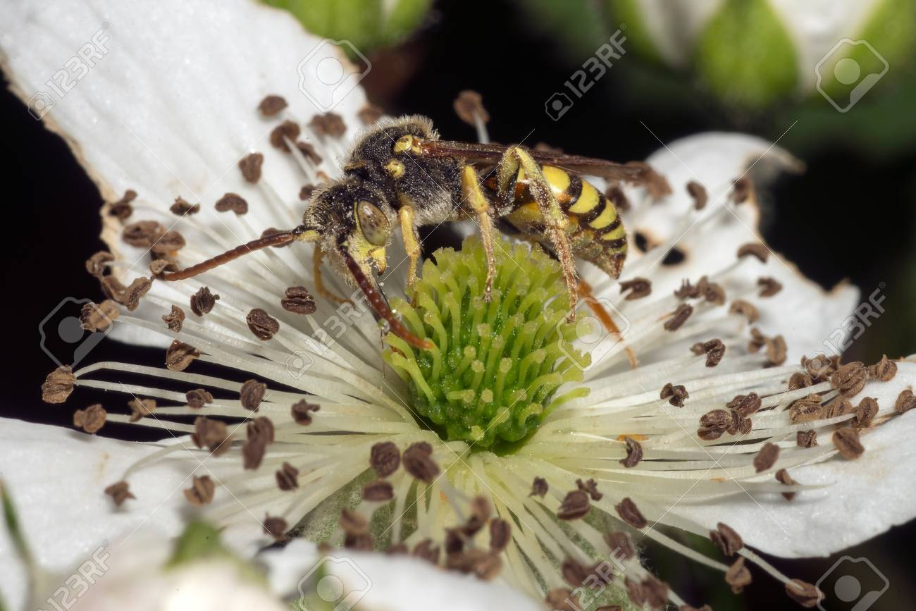 Closeup of a hornet or wasp feeding on a white flower Stock Photo - 40559801