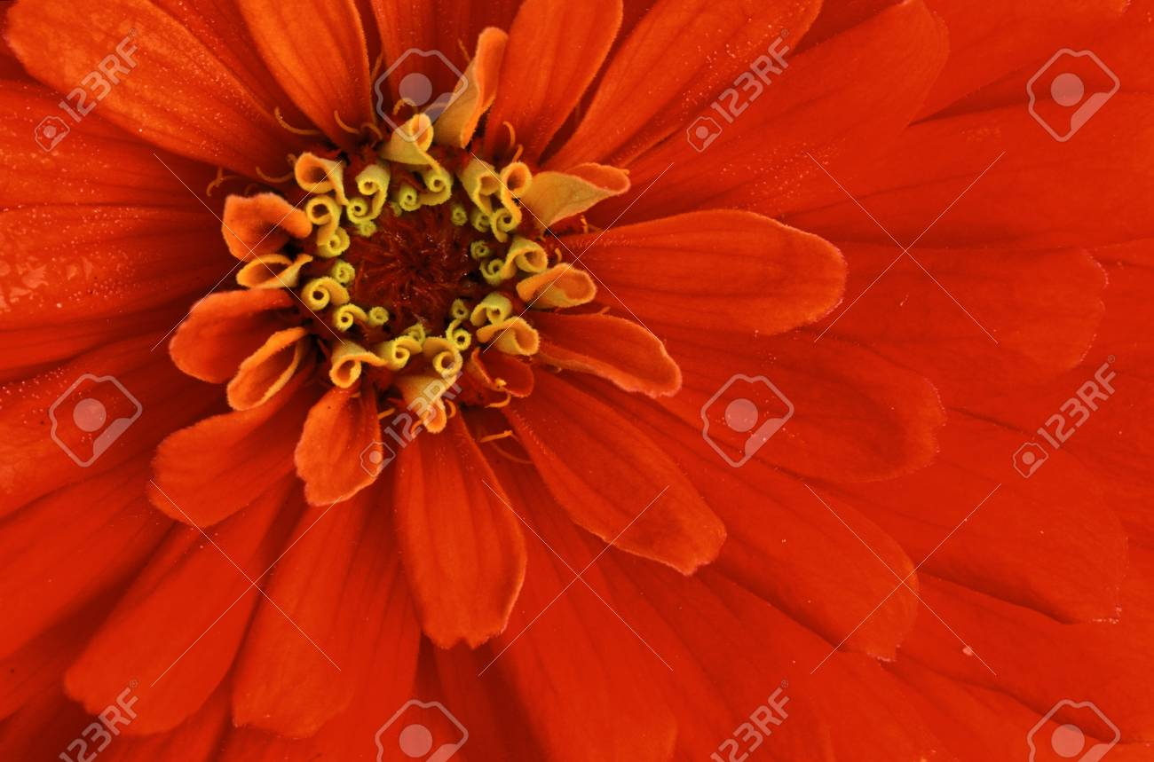Extreme close-up of center of red flower Stock Photo - 74449299