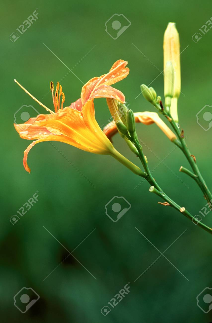 Daylilly blossom with water droplets Stock Photo - 74449298