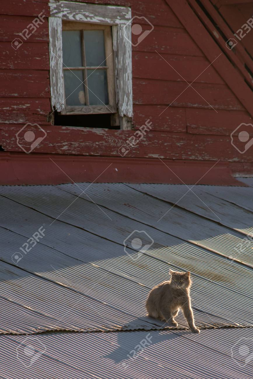 Cat on a tin roof of a red barn Stock Photo - 74449296