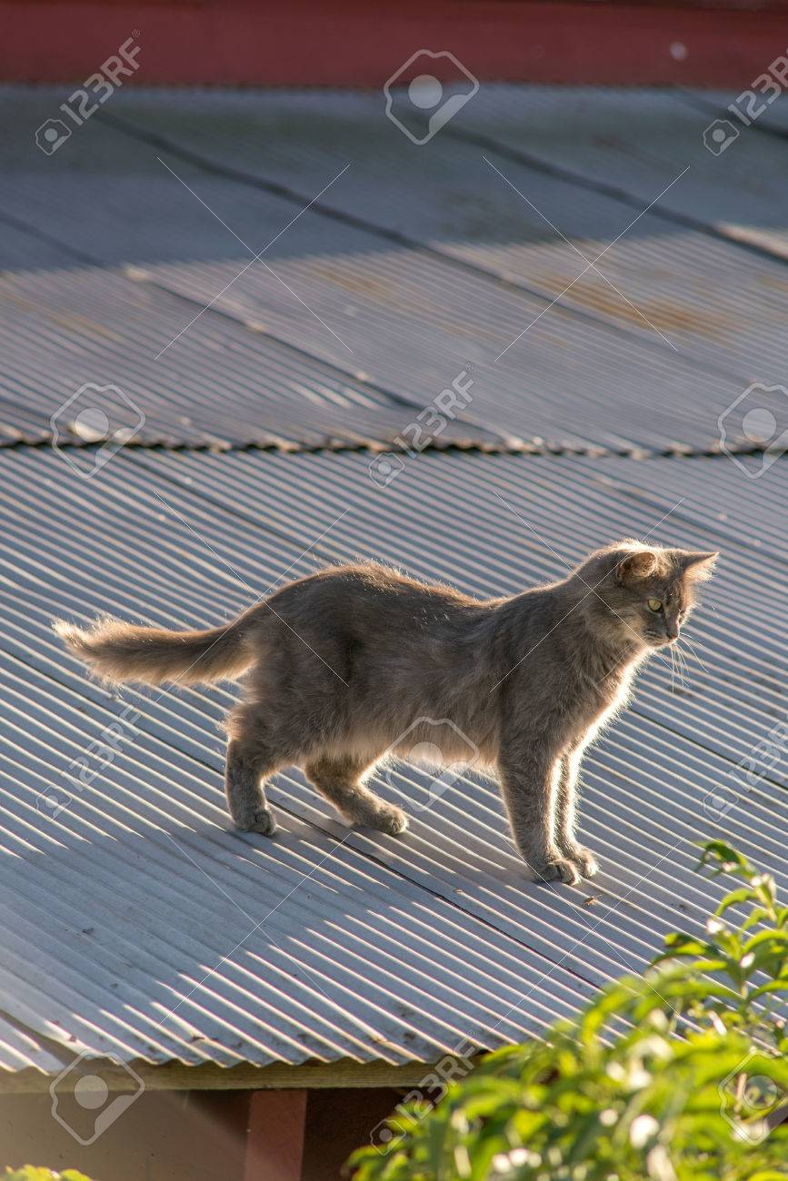 Cat on a tin roof of a red barn Stock Photo - 74449307