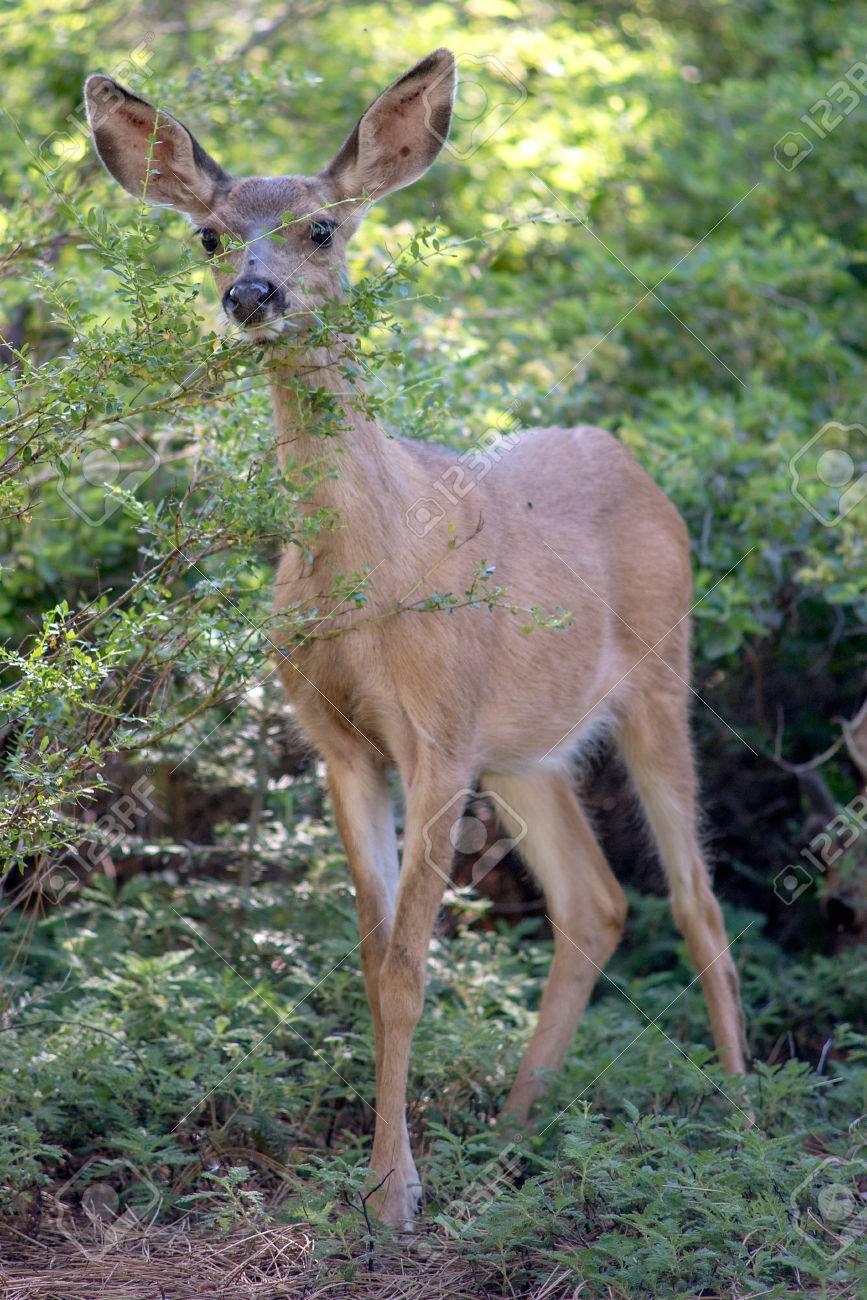 Mule Deer in Yosemite National Park Stock Photo - 74449311