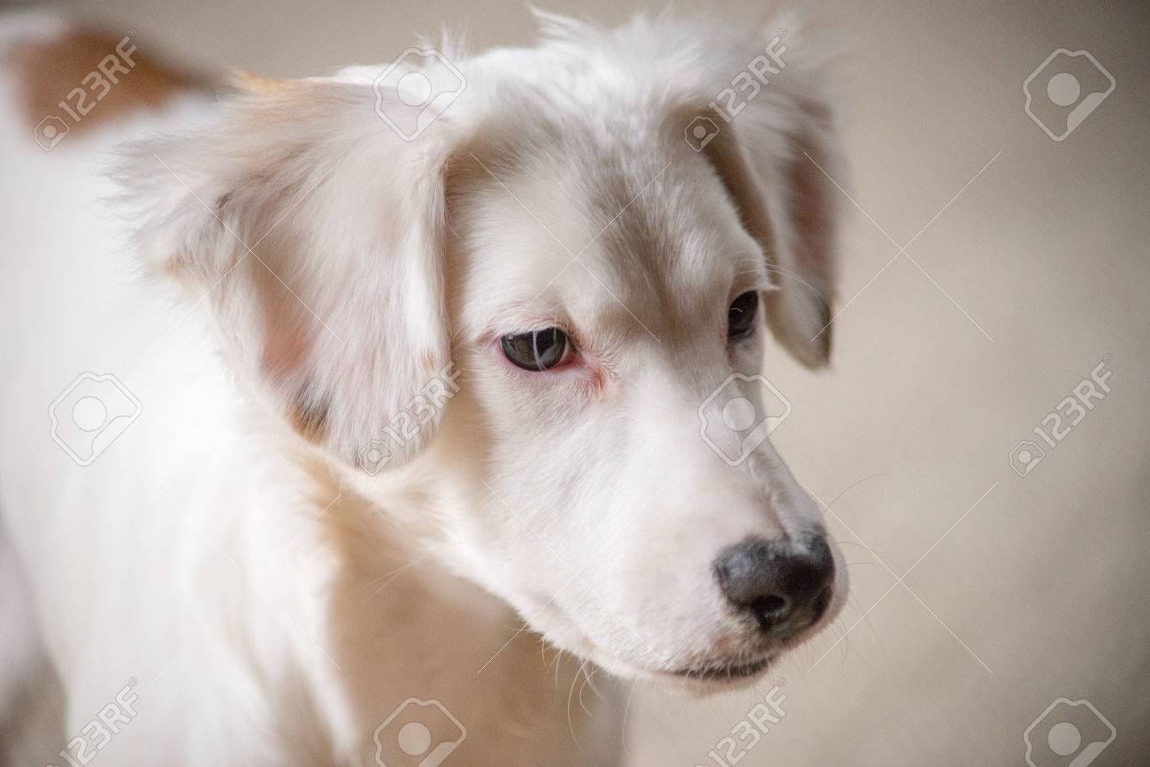 White terrier mixed-breed puppy Stock Photo - 74449317
