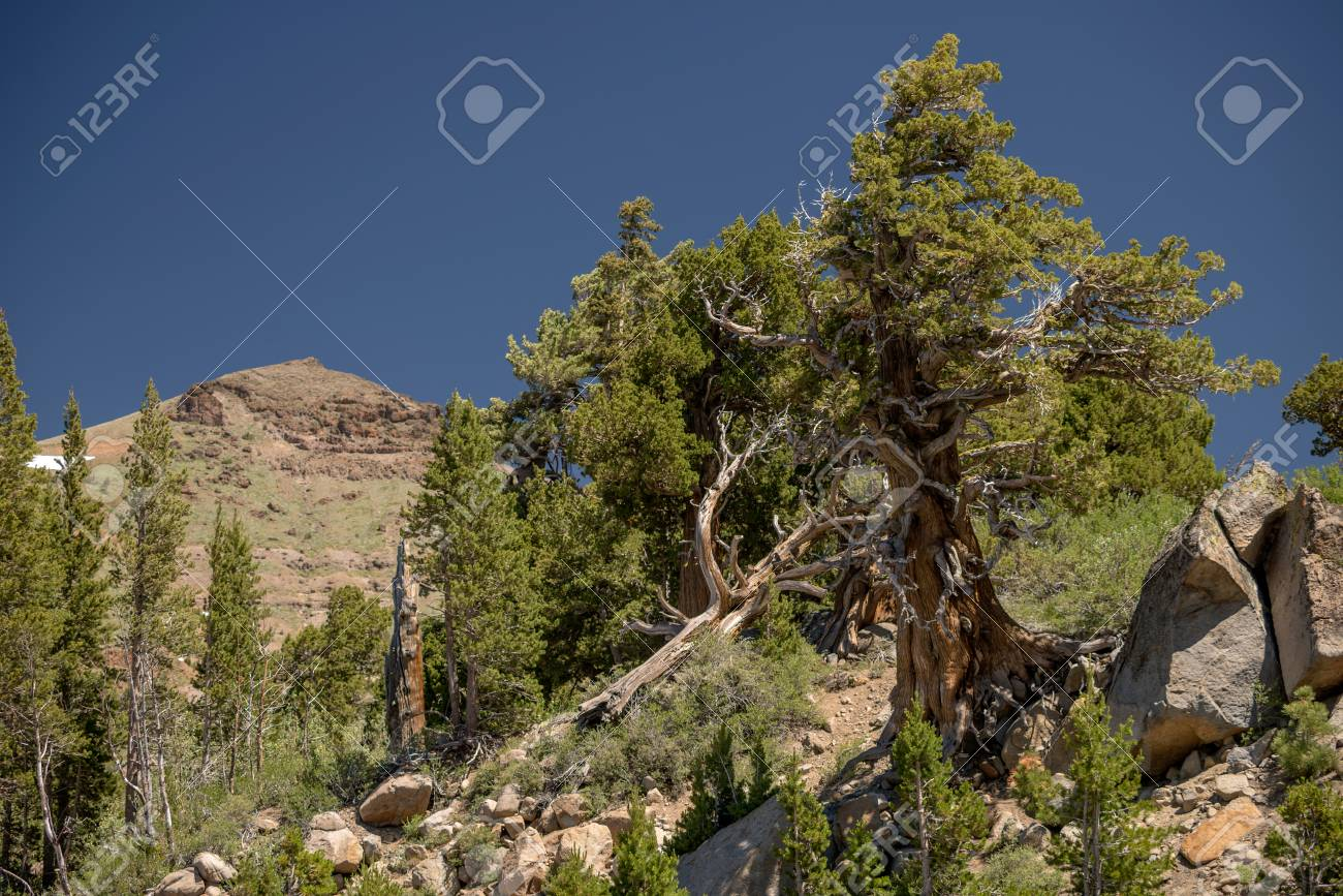 A single, weathered tree growing in rocks Stock Photo - 76006852