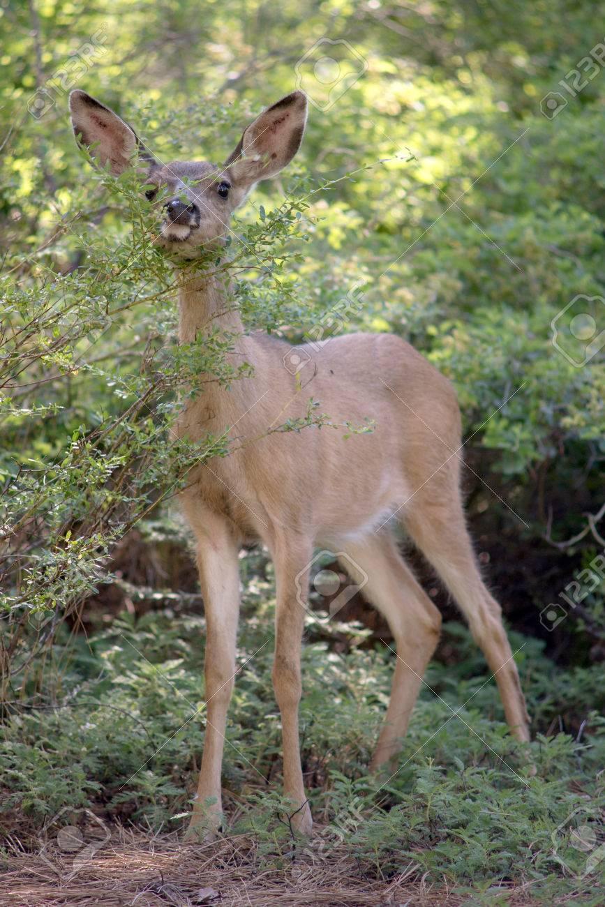 Mule Deer in Yosemite National Park Stock Photo - 74449318