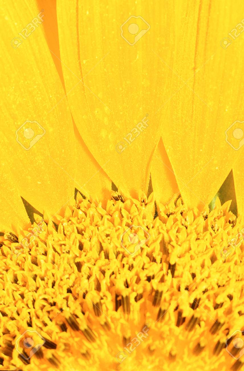Extreme close-up of center of large yellow flower Stock Photo - 74449330