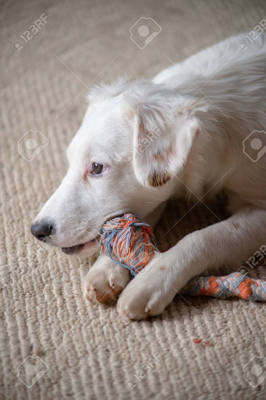 White terrier mixed-breed puppy playing with chew toy Stock Photo - 74449333
