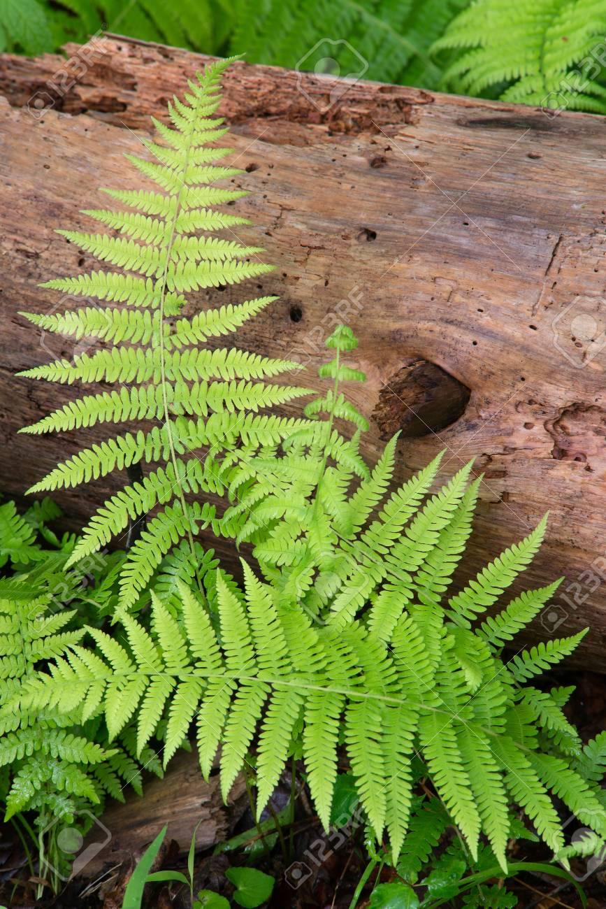 Cinnamon Ferns and Log with fresh rain drops Stock Photo - 74449343