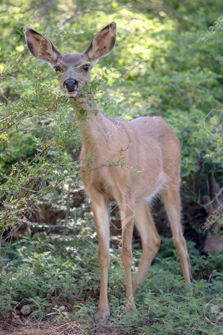 Mule Deer in Yosemite National Park Stock Photo - 74449347