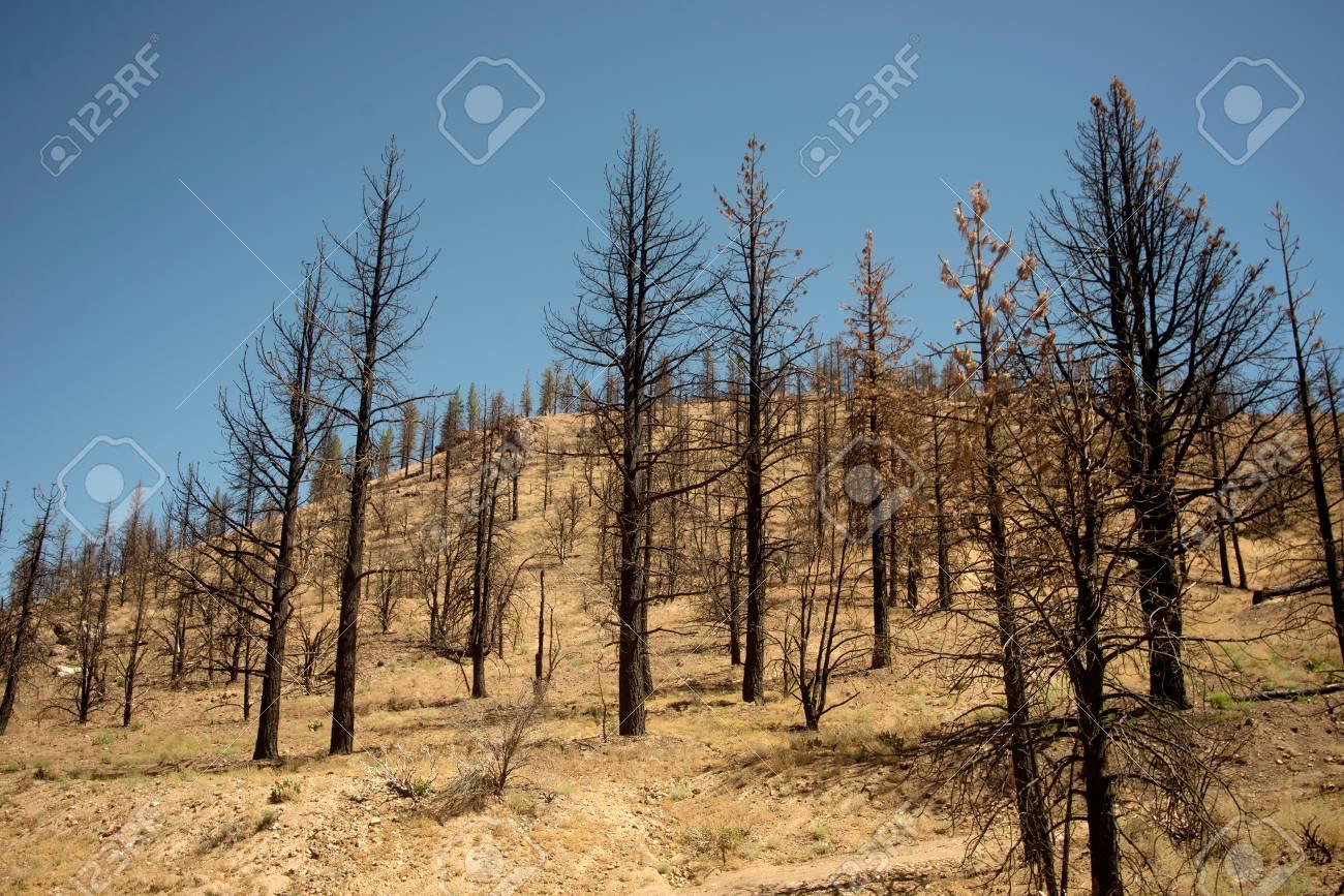 Field of burned trees in grassy field Stock Photo - 74449353