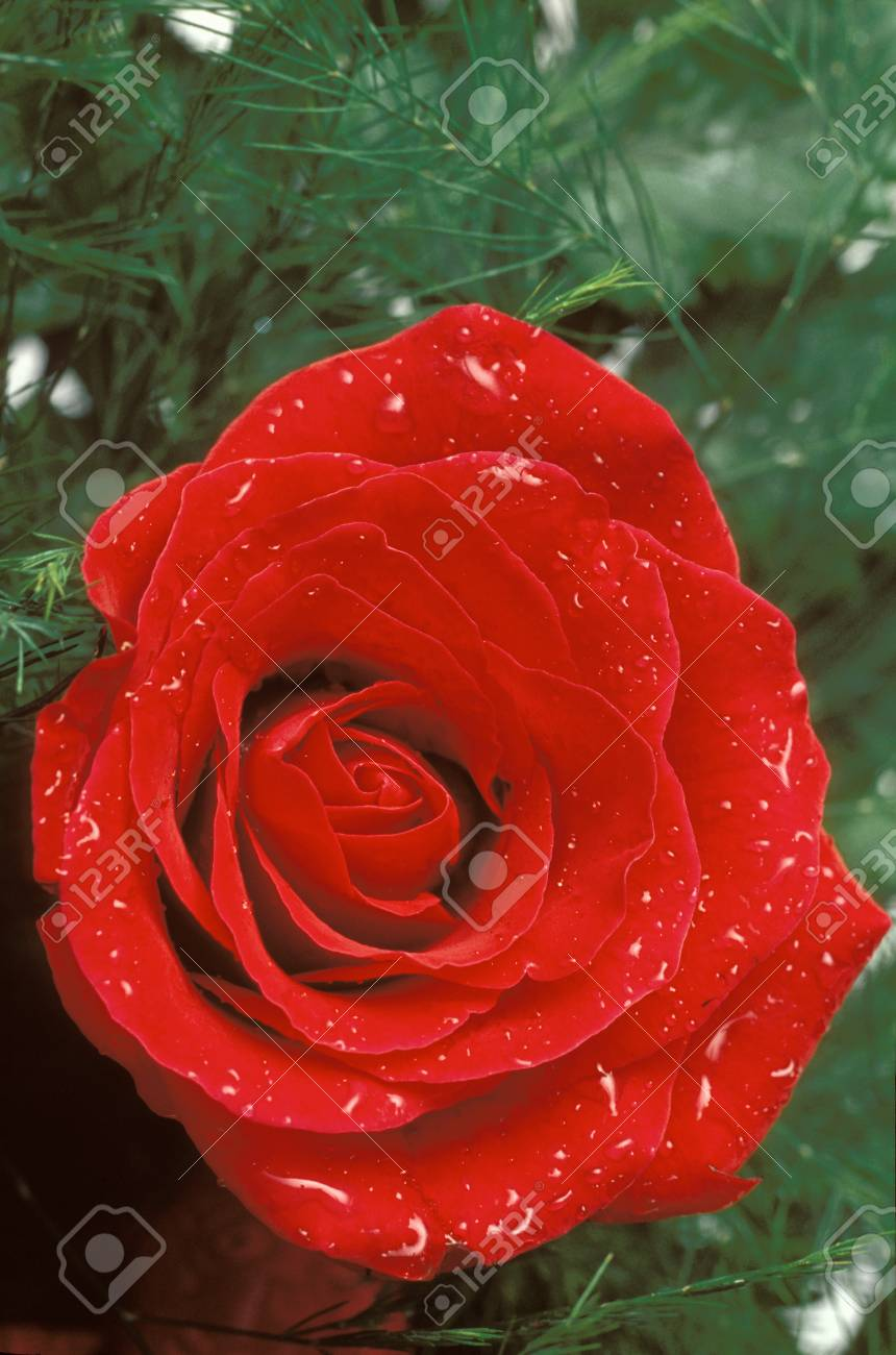 Red rose and water droplets Stock Photo - 74449364