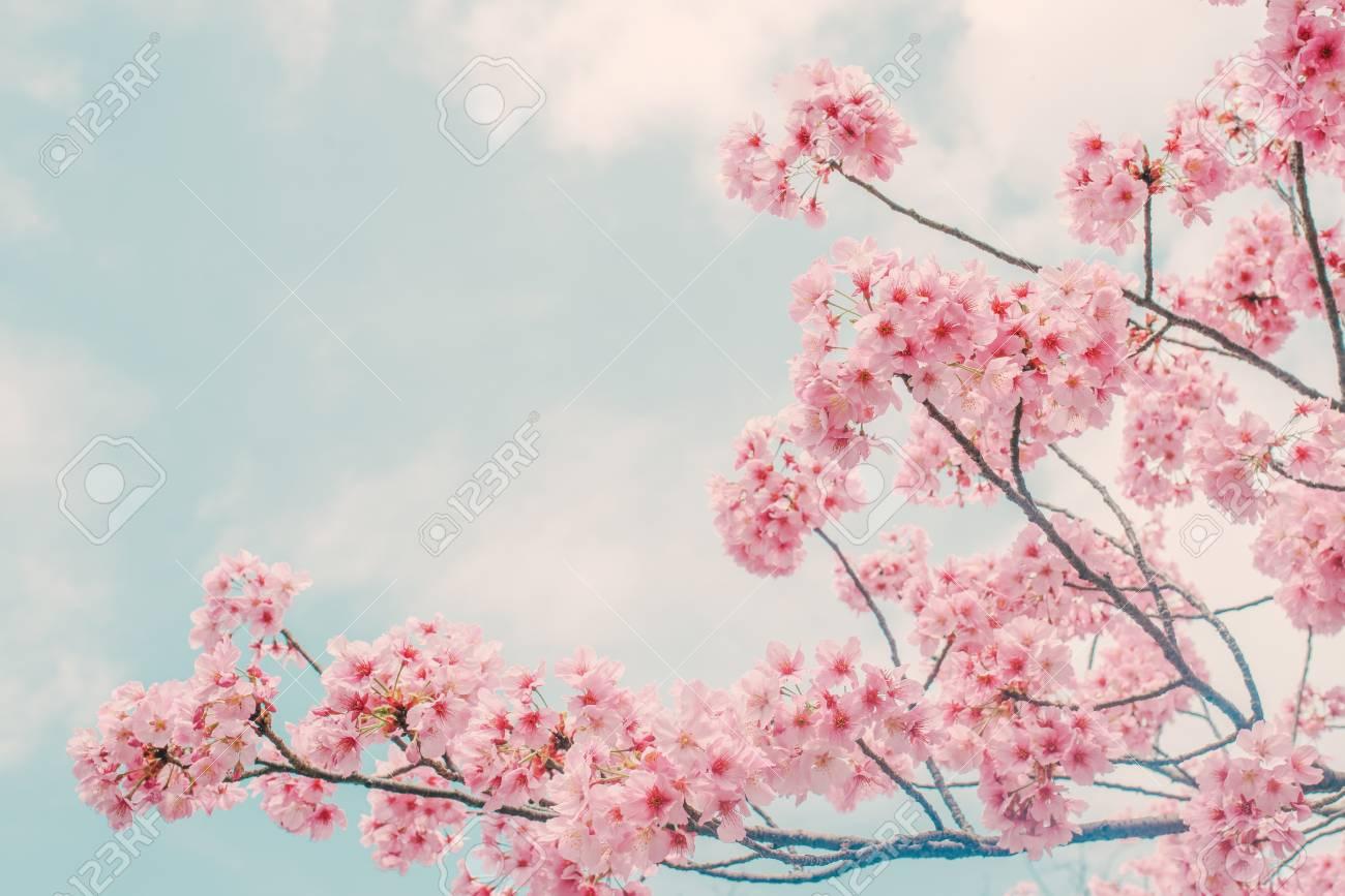 Beautiful cherry blossom sakura in spring time over blue sky. - 117027050