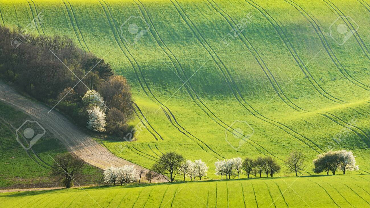 Trees along a path through a rolling spring field with traces of tractor wheels - 139174237