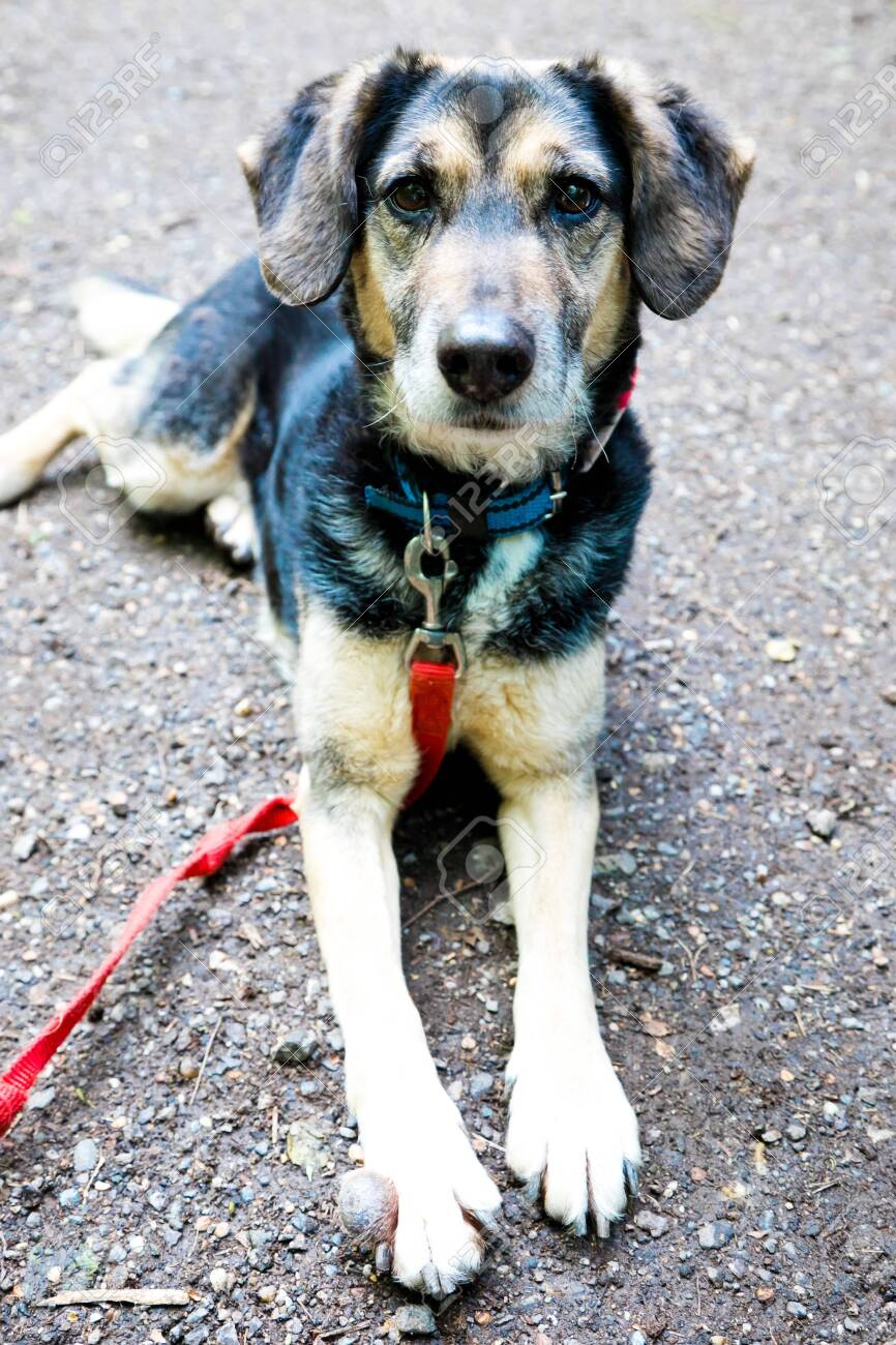 Lovely mixed breed dog with red leash having tumor on front paw,