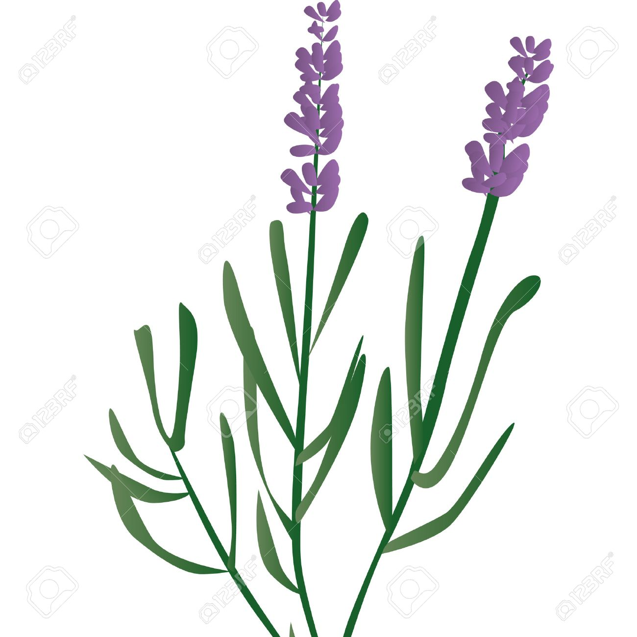 branch of lavender, violet scented beautiful plant Stock Vector - 8096517