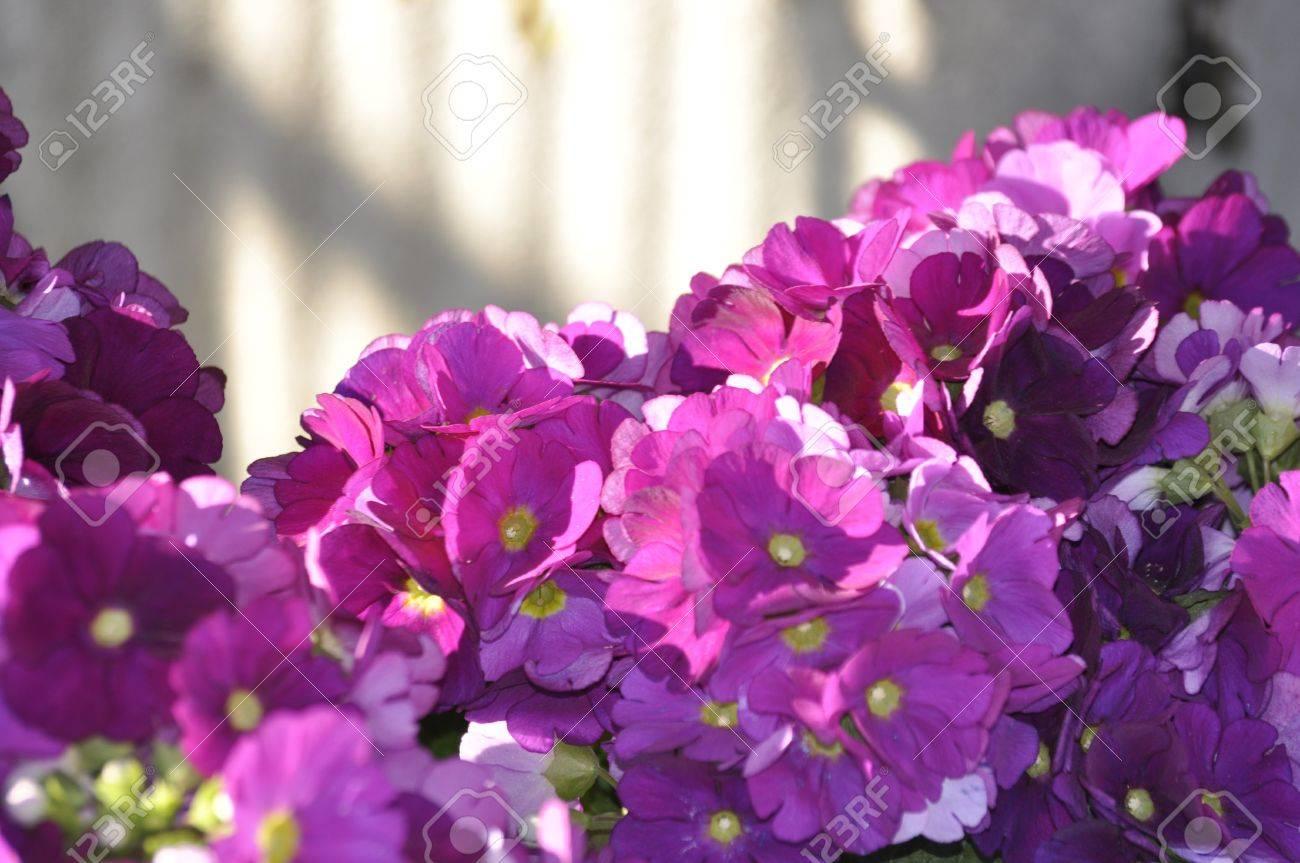 Premieres Fleurs Qui Poussent Au Printemps En Italie Et Dans Les