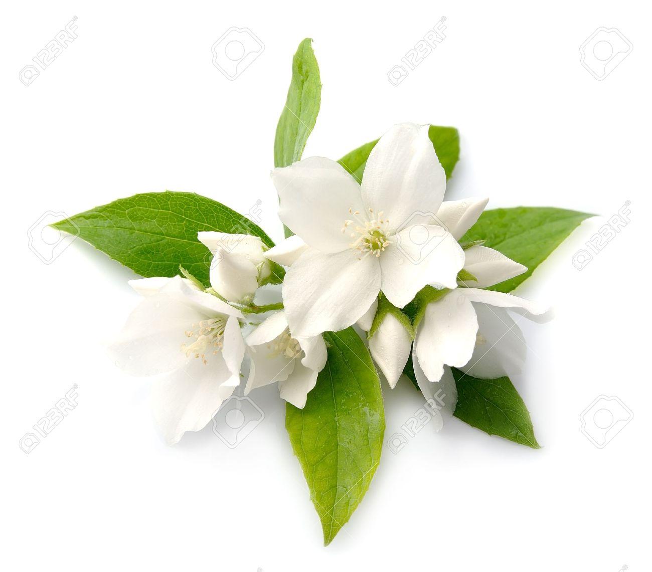 White flowers of jasmine on the white stock photo picture and stock photo white flowers of jasmine on the white izmirmasajfo Choice Image