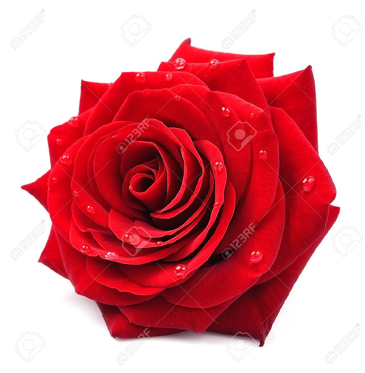 Red Rose With Drops Isolated On White Background Stock Photo ...