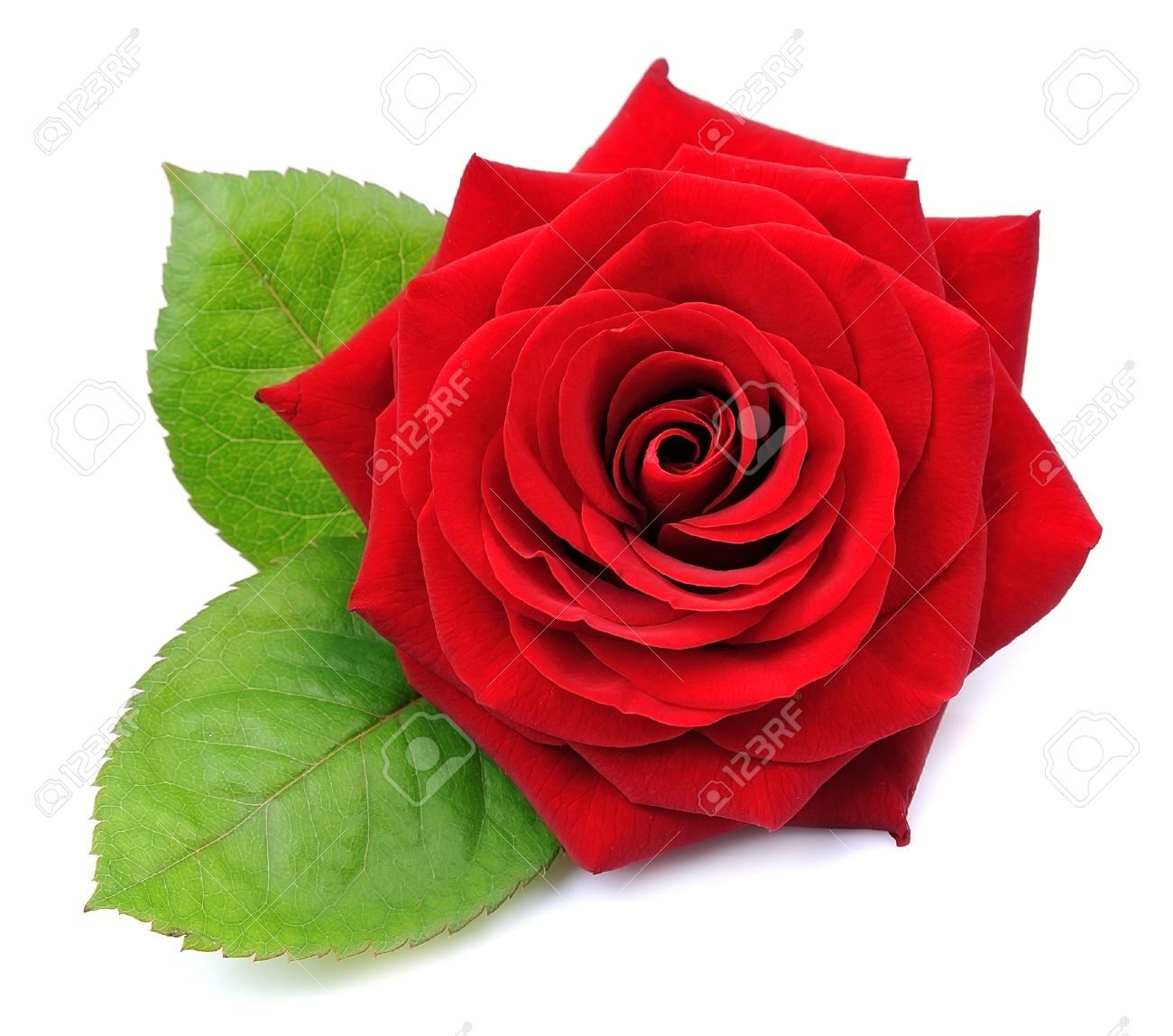 Red rose isolated on white background - 52234787