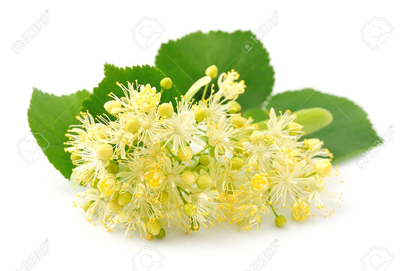 Linden flowers on a white background - 52234876