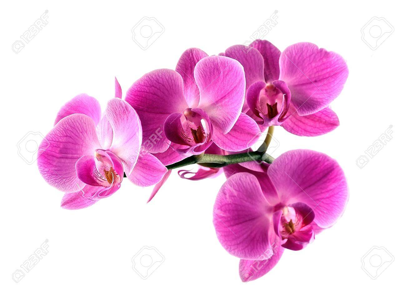 Pink Orchid Flower On White Backgrounds Stock Photo Picture And