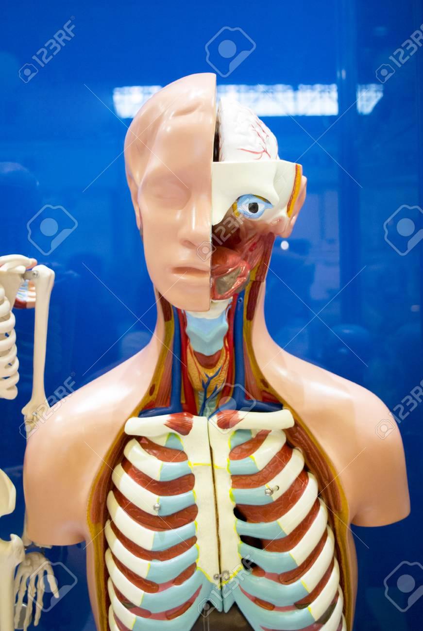 Human Internal Organs Dummy Training Dummy Detail Of The Face