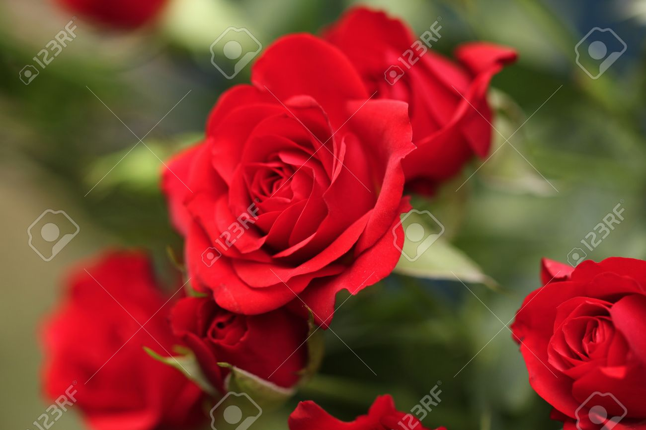 Detail Of Red Roses In The Garden. Stock Photo   47515000