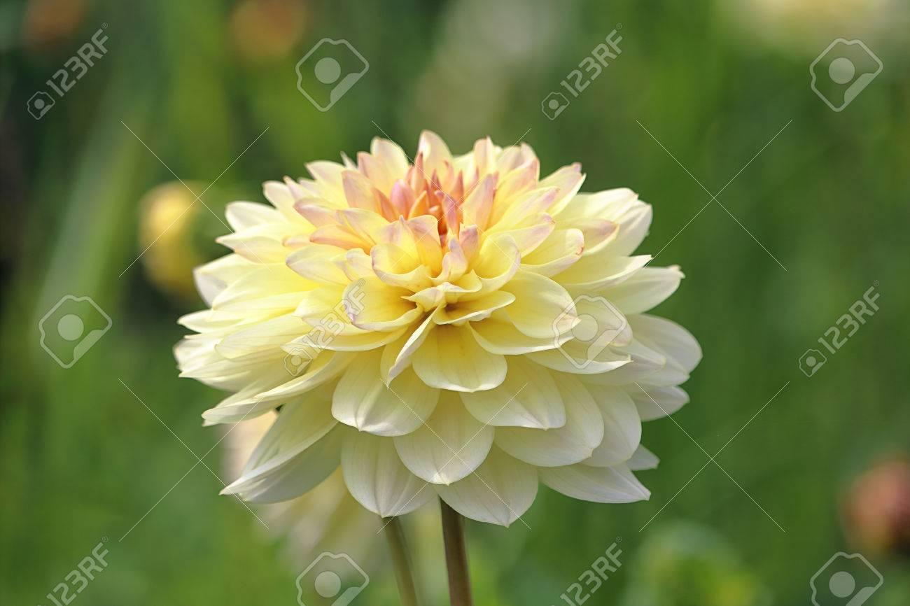 Beautiful Pale Yellow Dahlia Flower In The Garden Stock Photo