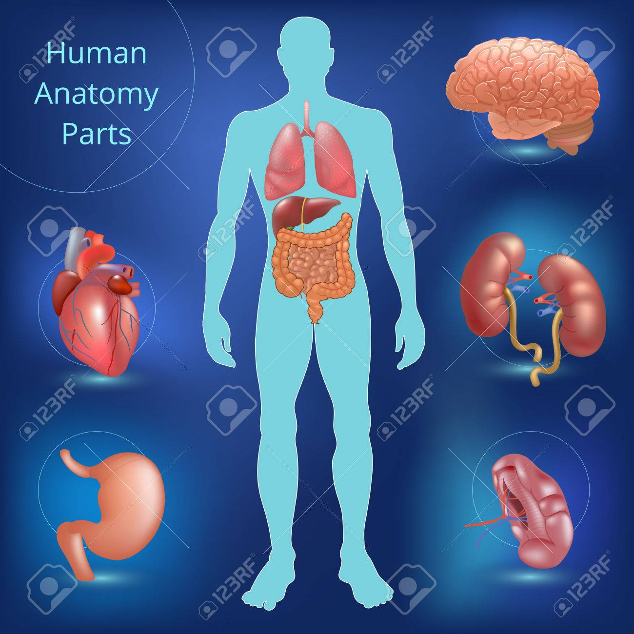 Set Of Human Anatomy Parts. Liver, Heart, Kidney, Lung, Stomach ...