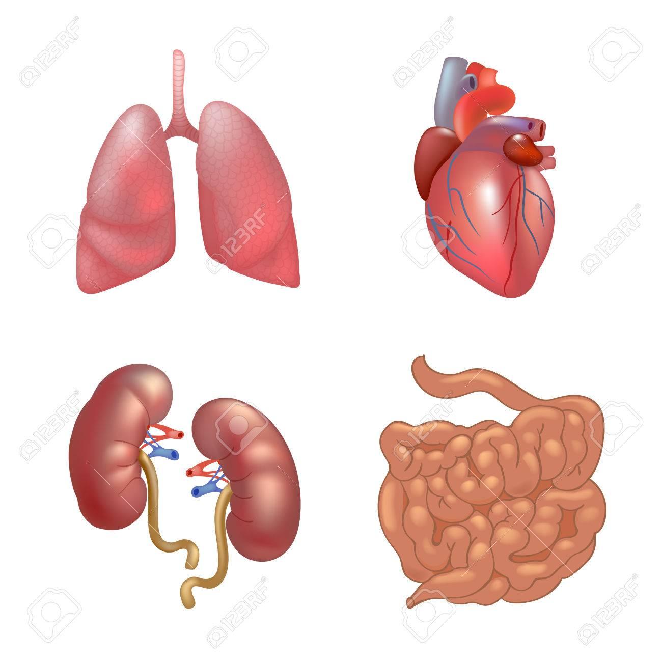 Famoso La Anatomía De órganos Inspiración - Imágenes de Anatomía ...
