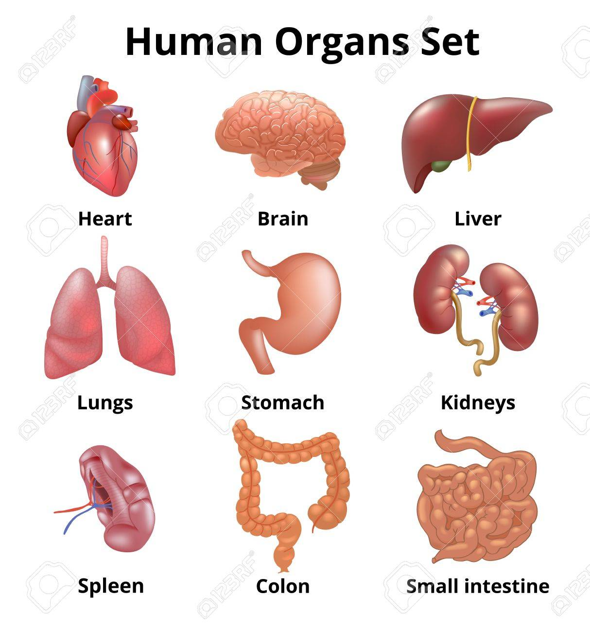 Realistic Human Organs Set Anatomy Stock Photo, Picture And Royalty ...