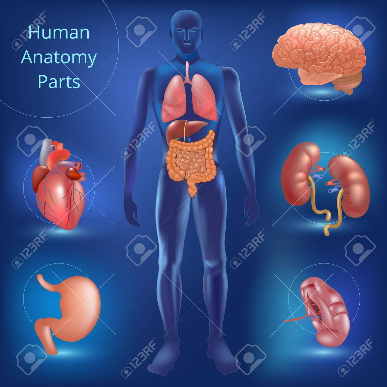 Conjunto De Piezas De Anatomía Humana Fotos, Retratos, Imágenes Y ...