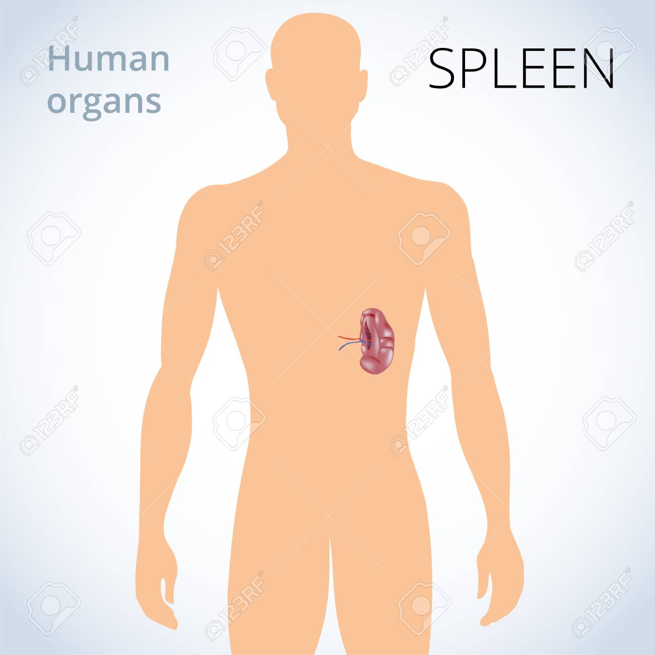 A Vector Illustration Of The Location Of The Spleen In The Body