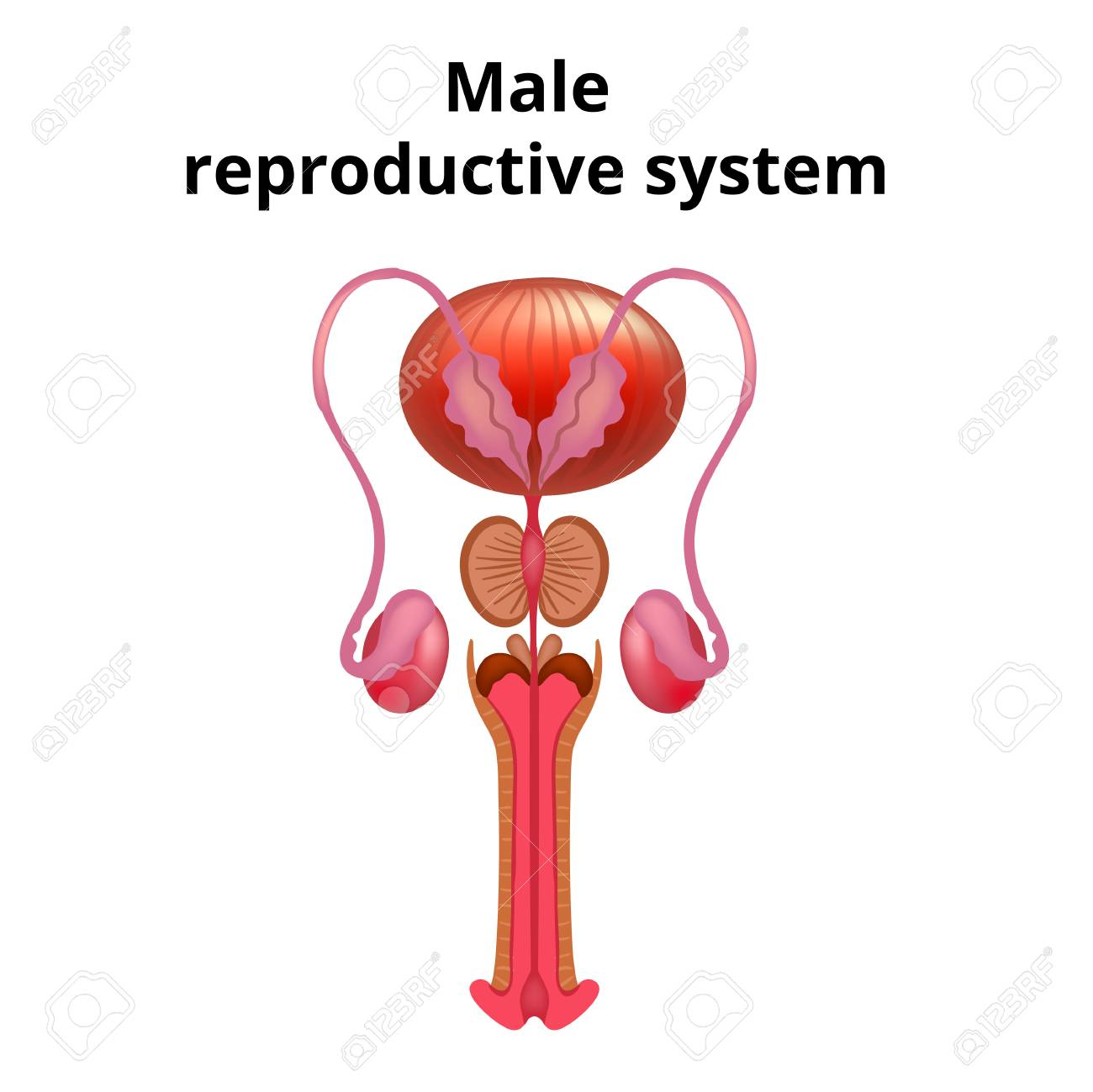 Vector Illustration Of Male Reproductive System Anatomy Royalty