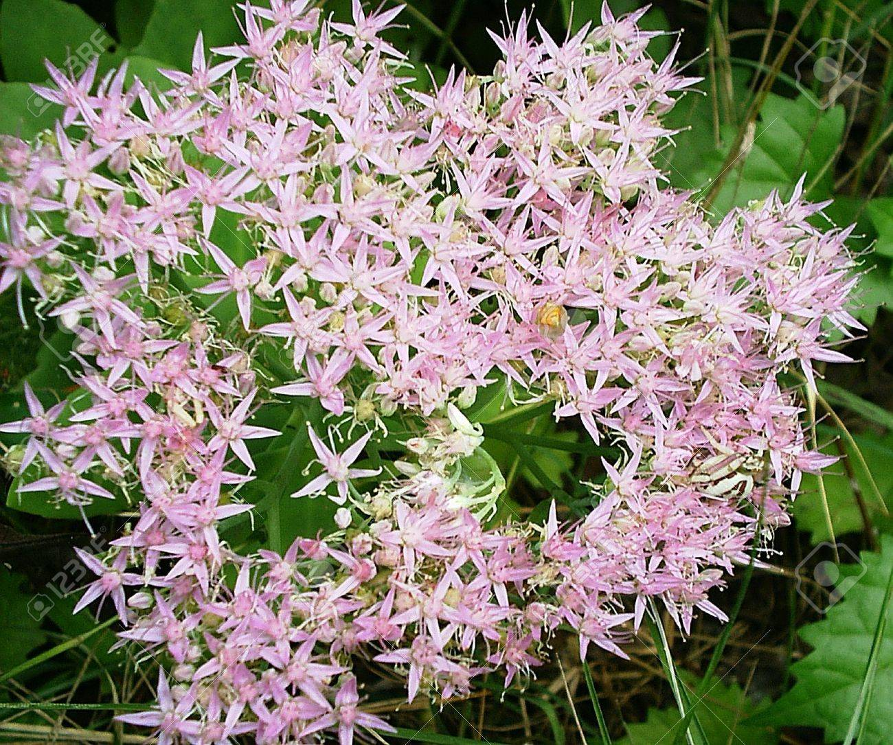 A cluster of small pink star shaped flowers stock photo picture and a cluster of small pink star shaped flowers stock photo 1761793 mightylinksfo Choice Image