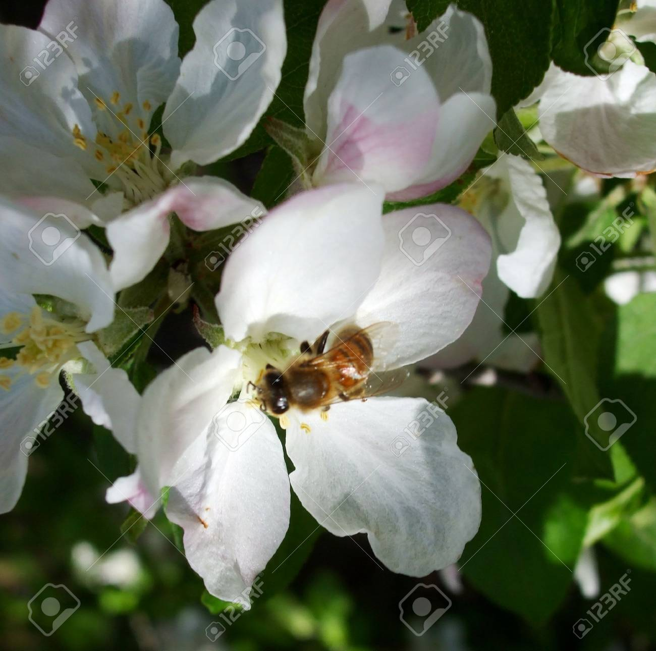 Bee in an apple blossom Stock Photo - 2875088